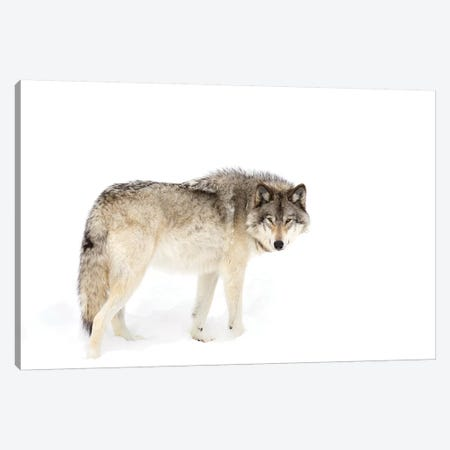 Canadian Timber Wolf Walking Through The Snow Canvas Print #JCU3} by Jim Cumming Canvas Artwork