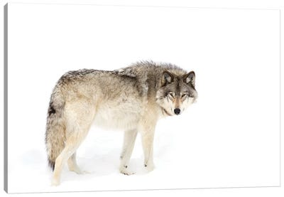 Canadian Timber Wolf Walking Through The Snow Canvas Art Print
