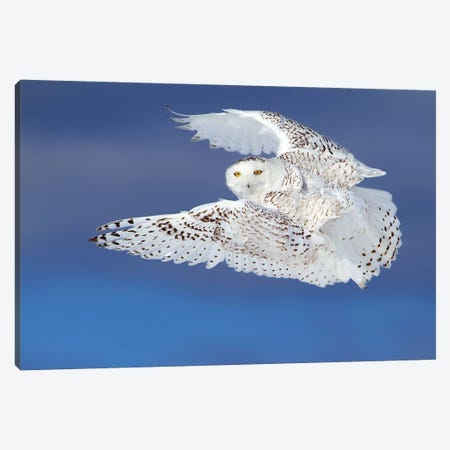 Flight Of The Snowy - Snowy Owl Canvas Print #JCU4} by Jim Cumming Canvas Print