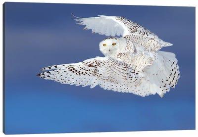 Flight Of The Snowy - Snowy Owl Canvas Art Print
