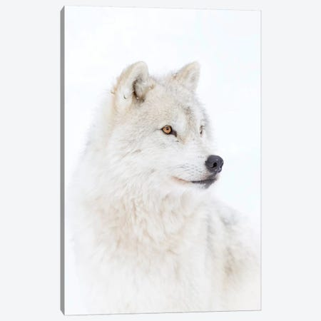 Portrait Of An Arctic Wolf Canvas Print #JCU5} by Jim Cumming Art Print