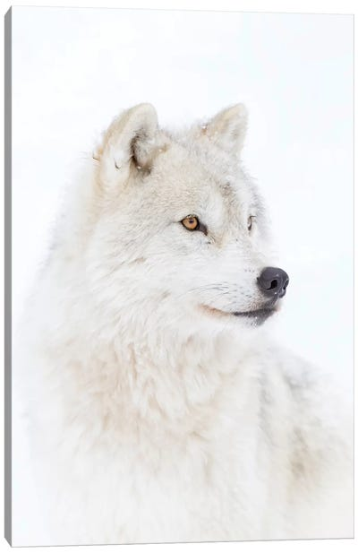 Portrait Of An Arctic Wolf Canvas Art Print