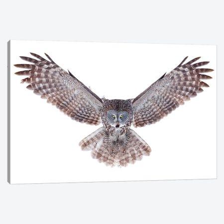 Power - Great Grey Owl Canvas Print #JCU6} by Jim Cumming Canvas Art Print
