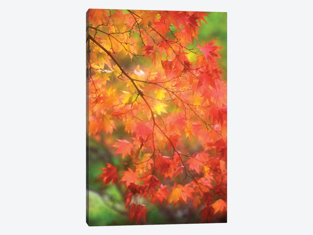 Maple Leaves In Autumn by Janell Davidson 1-piece Canvas Print