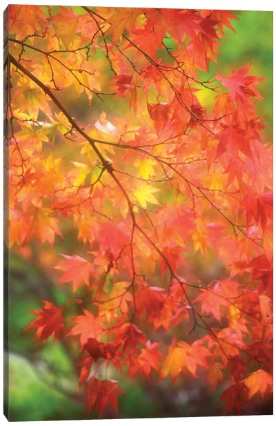 Maple Leaves In Autumn Canvas Art Print