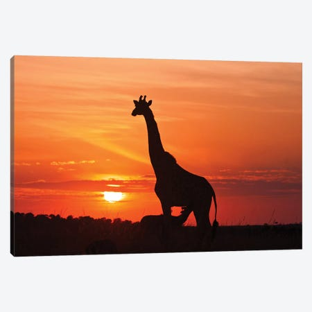 Giraffe Suckling Young One At Sunrise, Maasai Mara Wildlife Reserve, Kenya. Canvas Print #JDR3} by Jagdeep Rajput Canvas Art