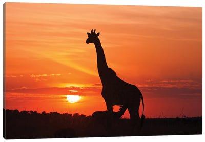 Giraffe Suckling Young One At Sunrise, Maasai Mara Wildlife Reserve, Kenya. Canvas Art Print