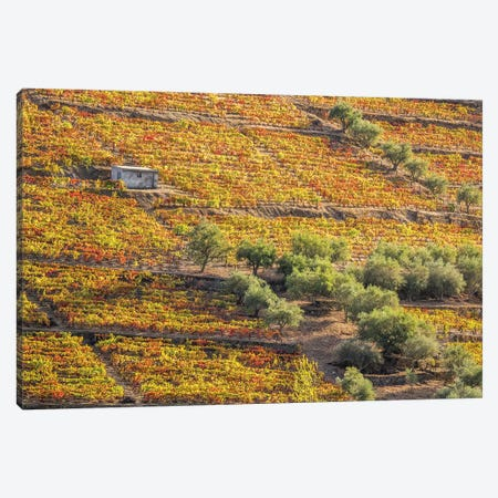 Portugal, Douro Valley. Vineyards in autumn, terraced on hillsides above the Douro River. Canvas Print #JEG28} by Julie Eggers Canvas Print