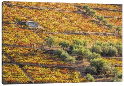 Portugal, Douro Valley. Vineyards in autumn, terraced on hillsides above the Douro River. Canvas Art Print