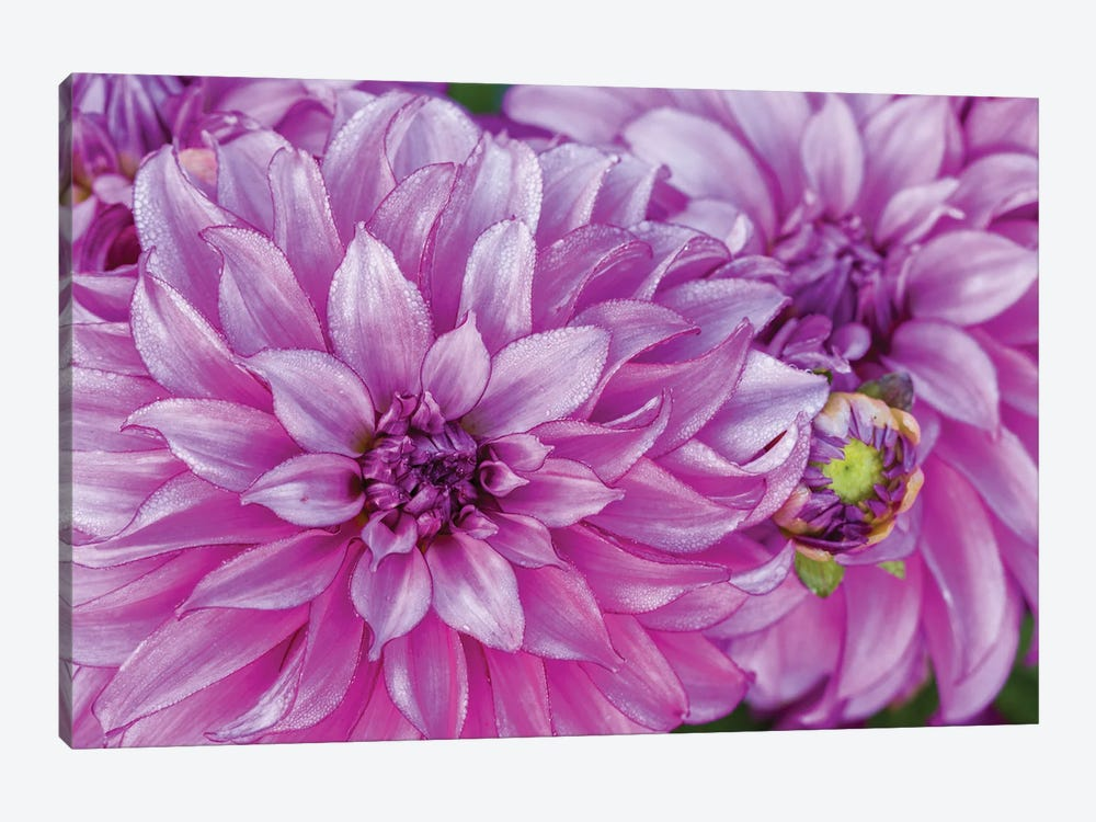 USA, Oregon, Canby, Clackamas County. Close-up of a dahlia variety. by Julie Eggers 1-piece Canvas Print