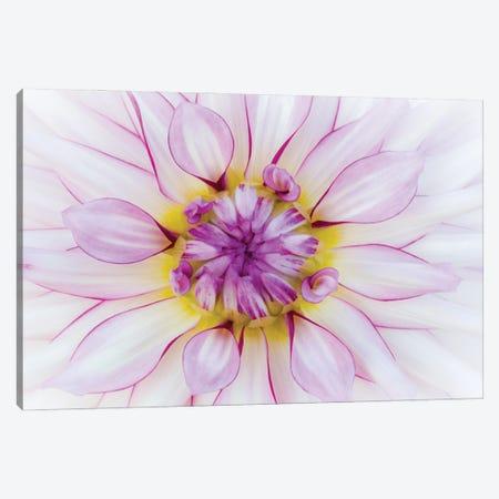 USA, Oregon, Canby, Clackamas County. Macro of a dahlia variety. Canvas Print #JEG39} by Julie Eggers Canvas Art