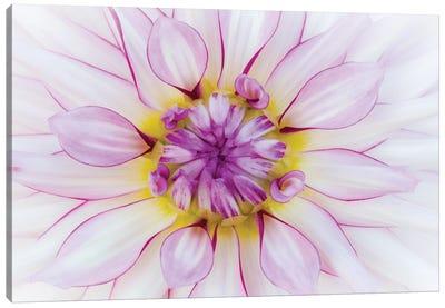 USA, Oregon, Canby, Clackamas County. Macro of a dahlia variety. Canvas Art Print