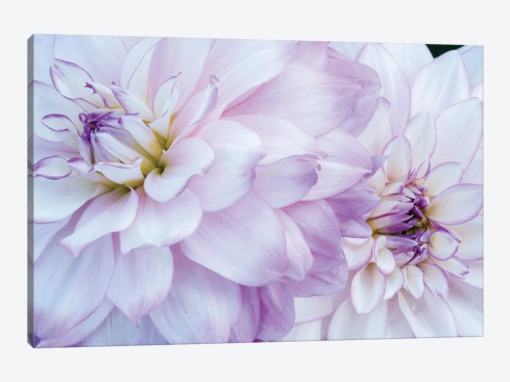 USA, Oregon, Canby, Clackamas County. Macro of a dahlia variety. by Julie Eggers 1-piece Canvas Print