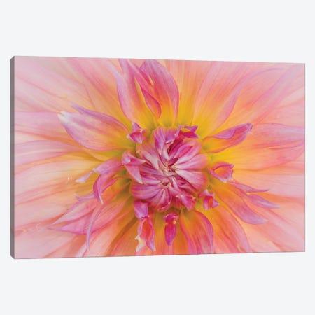 USA, Oregon, Canby, Clackamas County. Macro of a dahlia variety. Canvas Print #JEG50} by Julie Eggers Canvas Wall Art