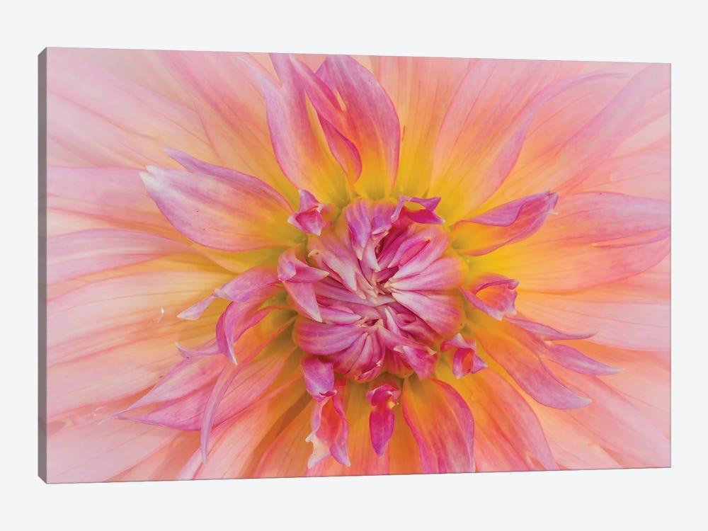 USA, Oregon, Canby, Clackamas County. Macro of a dahlia variety. by Julie Eggers 1-piece Canvas Art Print