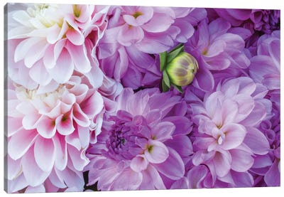 USA, Oregon, Canby, Clackamas County. Flower pattern with large group of lavender flowers. Canvas Art Print