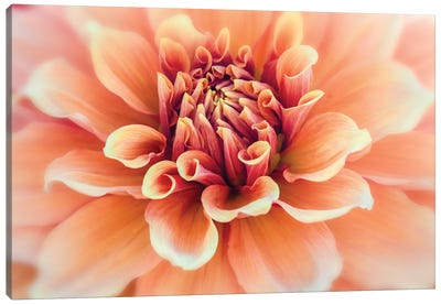 USA, Oregon, Canby, Clackamas County. Macro of a dahlia variety. Canvas Art Print