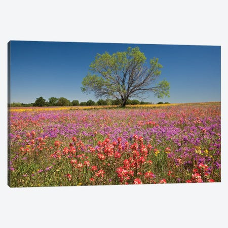 Lone Mesquite Tree In A Colorful Field Of Wildflowers, Texas, USA Canvas Print #JEG5} by Julie Eggers Canvas Artwork