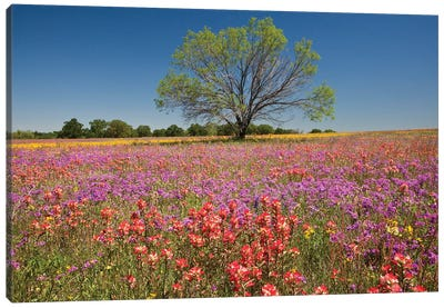 Lone Mesquite Tree In A Colorful Field Of Wildflowers, Texas, USA Canvas Print #JEG5