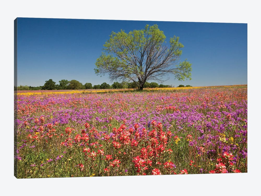 Lone Mesquite Tree In A Colorful Field Of Wildflowers, Texas, USA by Julie Eggers 1-piece Canvas Artwork