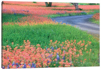 Field Of Bluebonnets And Scarlet Indian Paintbrushes, Texas Hill Country, Texas, USA Canvas Art Print