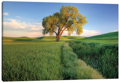 Lone Tree In A Field, Palouse, Washington, USA Canvas Art Print