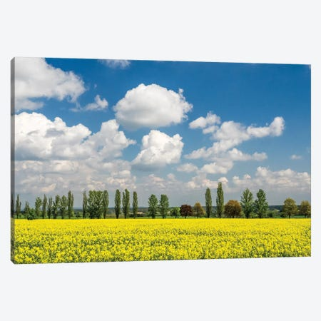 Czech Republic. Canola field and tree line. Canvas Print #JEG9} by Julie Eggers Art Print