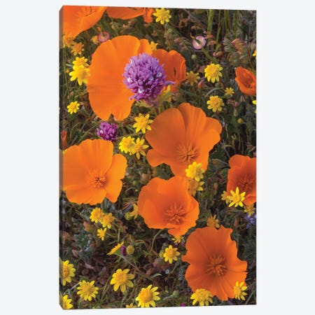 California Poppy , Goldfield , and Purple Owl's Clover flowers, Antelope Valley, California Canvas Print #JFF17} by Jeff Foott Canvas Artwork