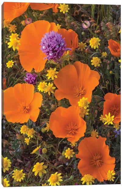 California Poppy , Goldfield , and Purple Owl's Clover flowers, Antelope Valley, California Canvas Art Print