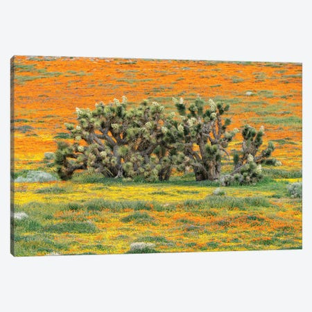 California Poppy flowers and Joshua Trees, super bloom, Antelope Valley, California Canvas Print #JFF18} by Jeff Foott Canvas Print