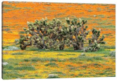 California Poppy flowers and Joshua Trees, super bloom, Antelope Valley, California Canvas Art Print