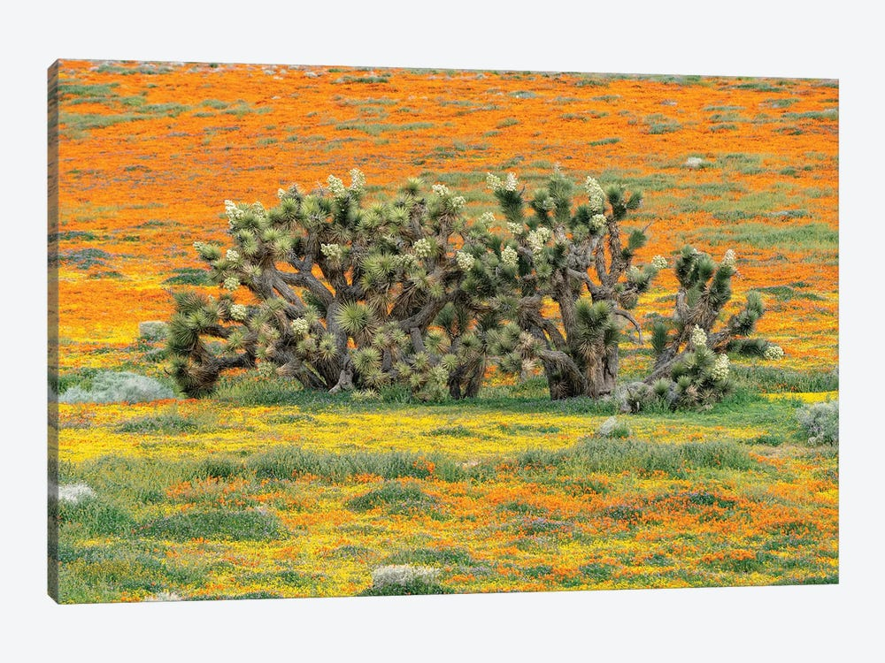 California Poppy flowers and Joshua Trees, super bloom, Antelope Valley, California by Jeff Foott 1-piece Canvas Artwork