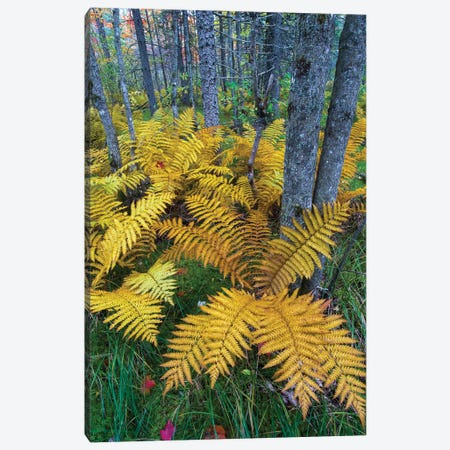 Cinnamon Fern in forest, Baxter State Park, Maine Canvas Print #JFF19} by Jeff Foott Canvas Print