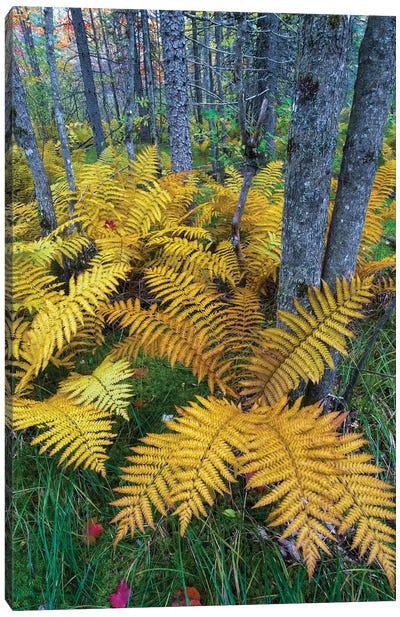 Cinnamon Fern in forest, Baxter State Park, Maine Canvas Art Print