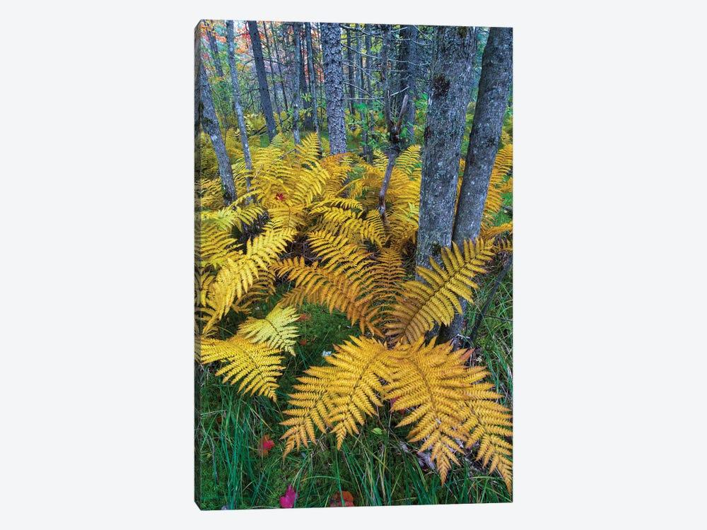 Cinnamon Fern in forest, Baxter State Park, Maine by Jeff Foott 1-piece Canvas Print