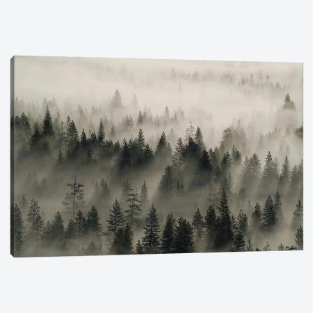 Coniferous trees in mist, Yosemite National Park, California Canvas Print #JFF27} by Jeff Foott Canvas Print