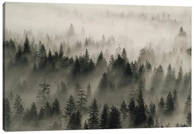 Coniferous trees in mist, Yosemite National Park, California Canvas Art Print