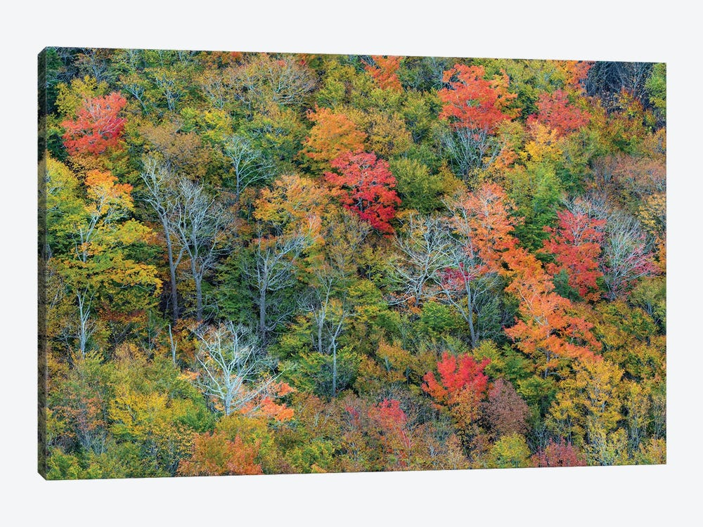 Deciduous forest in autumn, Acadia National Park, Maine by Jeff Foott 1-piece Canvas Art Print