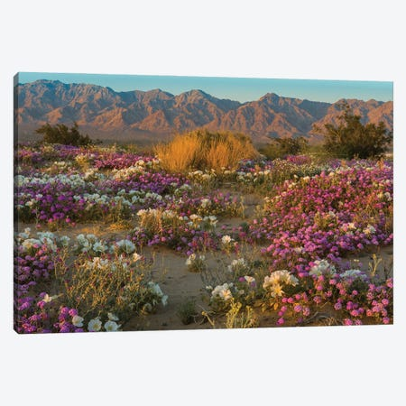 Desert Sand Verbena and Dune Evening Primrose in desert, Mojave Desert, California Canvas Print #JFF31} by Jeff Foott Canvas Print