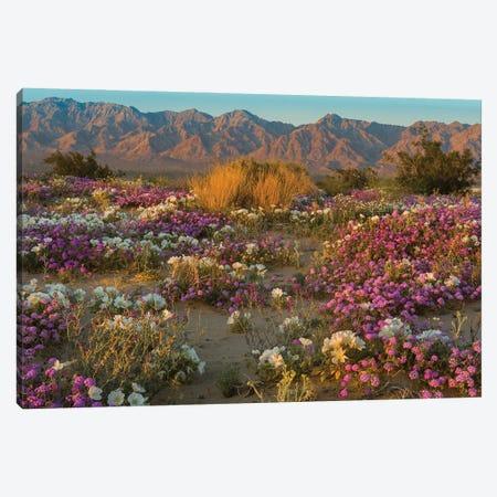 Desert Sand Verbena and Dune Evening Primrose in desert, Mojave Desert, California Canvas Print #JFF31} by Jeff Foott Canvas Print