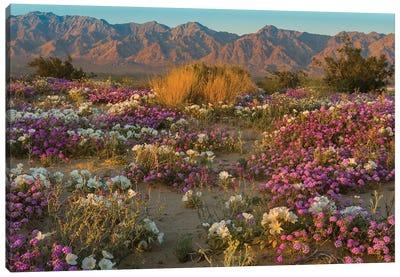 Desert Sand Verbena and Dune Evening Primrose in desert, Mojave Desert, California Canvas Art Print