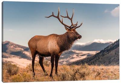 Elk bull, Yellowstone National Park, Wyoming Canvas Art Print