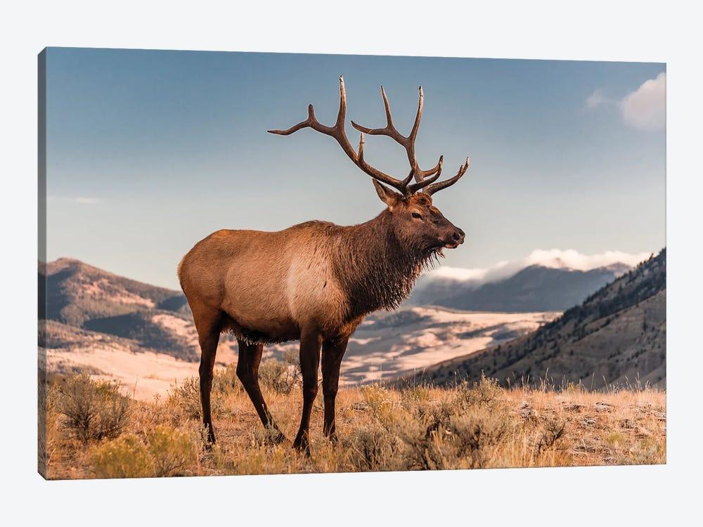 Elk bull, Yellowstone National Park, Wyoming by Jeff Foott 1-piece Canvas Art Print