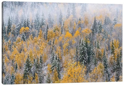 Forest after autumn snowfall, Wells Gray Provincial Park, British Columbia, Canada Canvas Art Print