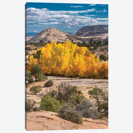 Fremont Cottonwood trees in autumn, Grand Staircase-Escalante National Monument, Utah Canvas Print #JFF42} by Jeff Foott Canvas Wall Art