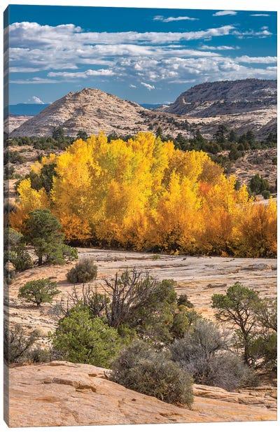 Fremont Cottonwood trees in autumn, Grand Staircase-Escalante National Monument, Utah Canvas Art Print