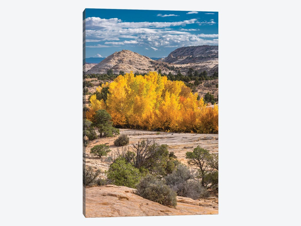 Fremont Cottonwood trees in autumn, Grand Staircase-Escalante National Monument, Utah by Jeff Foott 1-piece Canvas Print