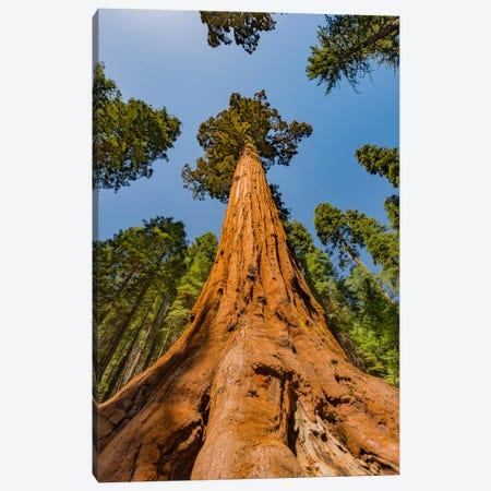Giant Sequoia tree, Mariposa Grove, Yosemite National Park, California Canvas Print #JFF49} by Jeff Foott Canvas Artwork