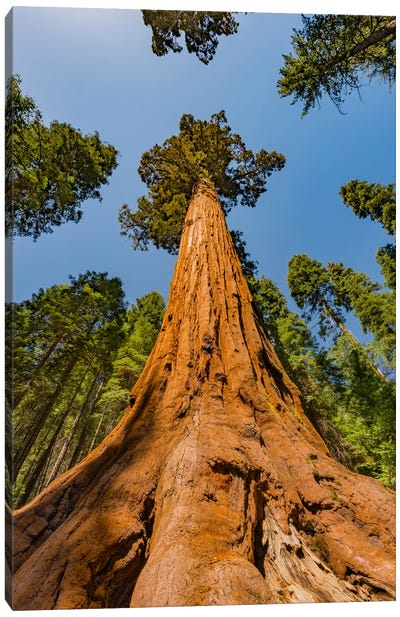 Giant Sequoia tree, Mariposa Grove, Yosemite National Park, California Canvas Art Print