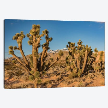 Joshua Trees In The Desert, Virgin Mountains, Gold Butte National Monument, Nevada Canvas Print #JFF4} by Jeff Foott Canvas Artwork